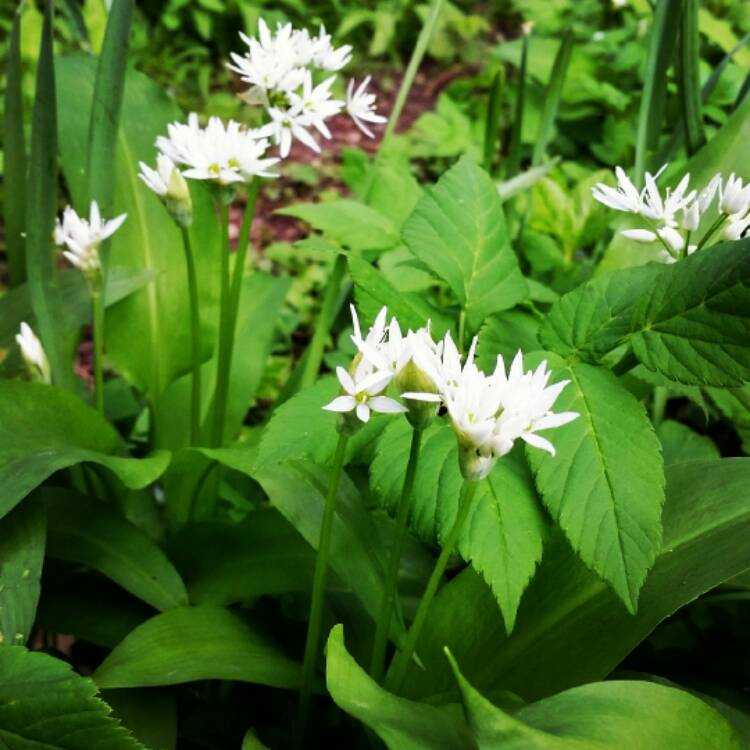 allium ursinum wild garlic uploaded by allotmentalice. Black Bedroom Furniture Sets. Home Design Ideas