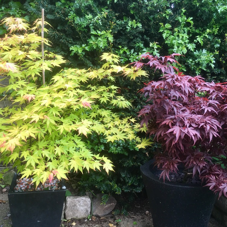 Plant image Acer palmatum 'Orange Dream'