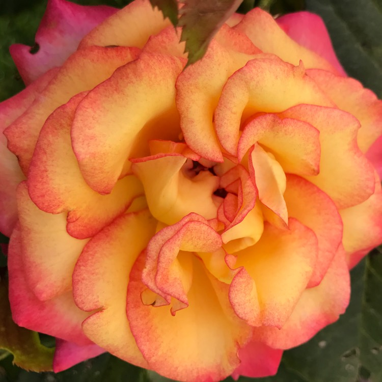 Plant image Rosa 'Dream Come True'