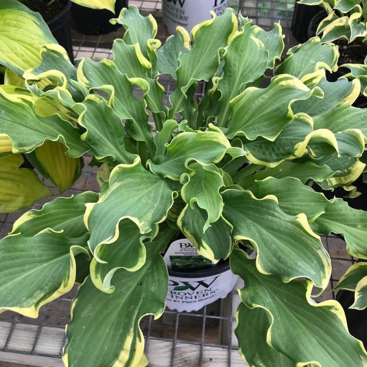 Plant image Hosta 'Wheee!' (Shadowland Series)