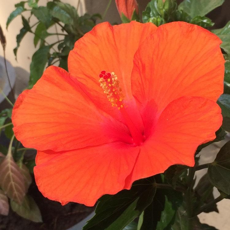 Fiori Hibiscus.Hibiscus Fiori Grande Chinese Hibiscus Uploaded By Amitkuthiala