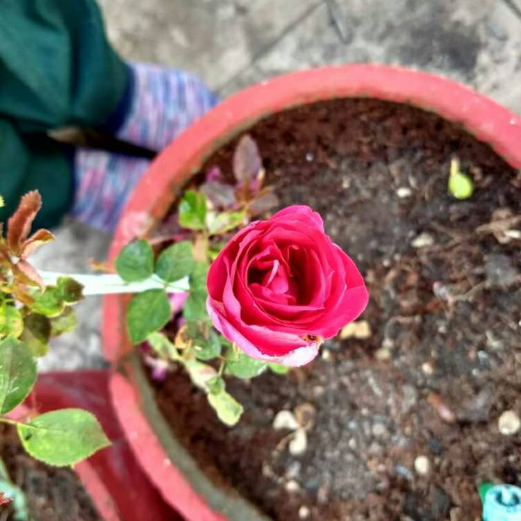 Plant image Rosa 'The Times Rose'