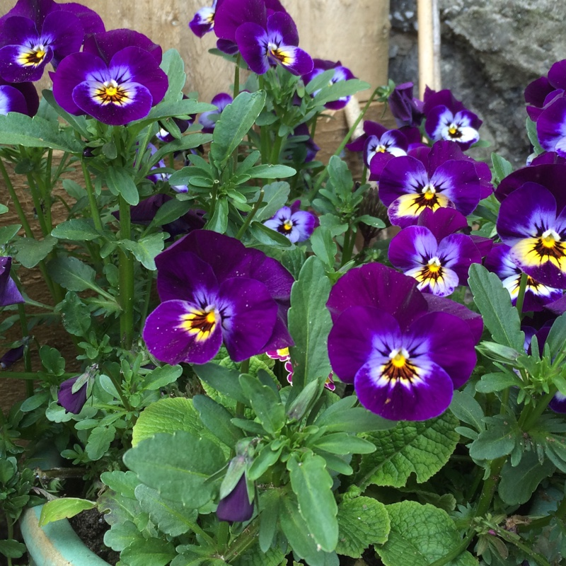 Horned Pansy 'Rocky Mickey'