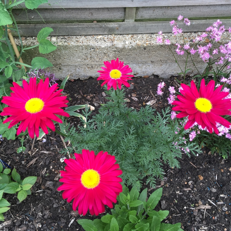 Plant image Tanacetum coccineum 'Robinson's Red' syn. Chrysanthemum coccineum 'Robinson's Red'