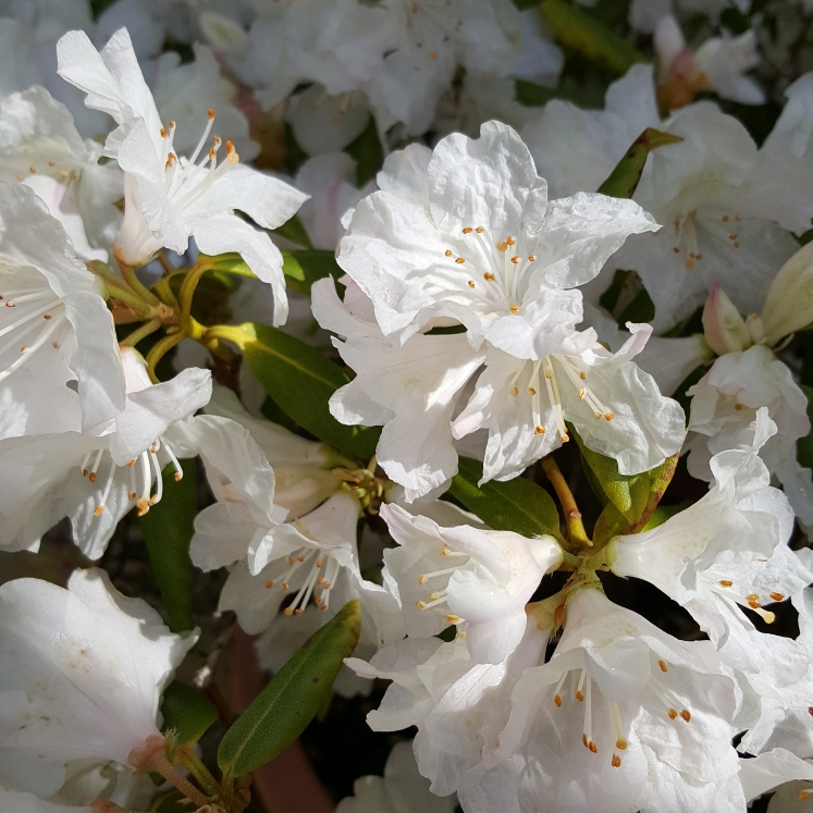 Plant image Rhododendron 'Snow Lady'