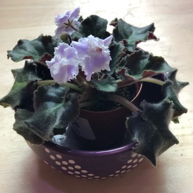 African violet 'Blue Silhouette'