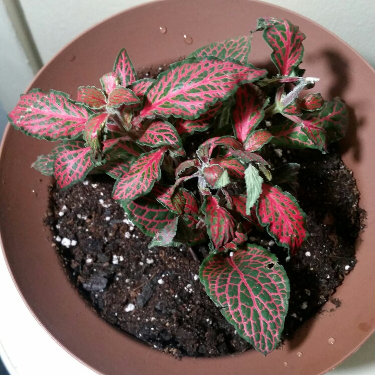 Plant image Fittonia agyroneura 'Mini Red Vein'
