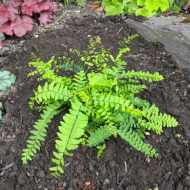Five-fingered Maidenhair Fern