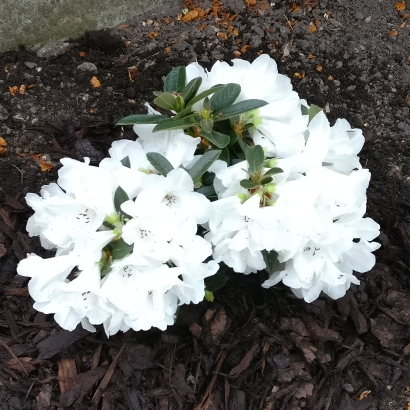 Plant image Rhododendron 'Tinkerbird'