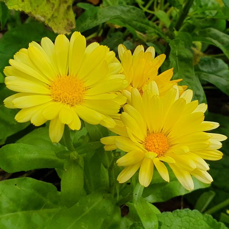 Plant image Calendula officinalis 'Indian Prince'