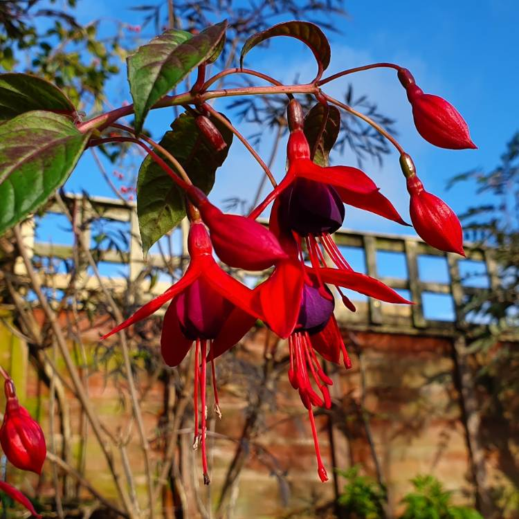 Plant image Fuchsia 'Lady In Black'