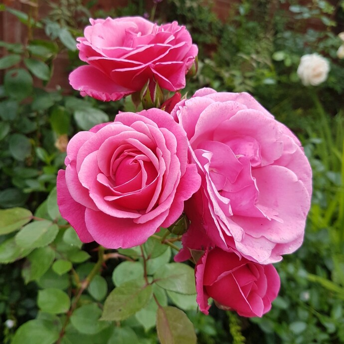 Plant image Rosa 'Pink Perpetue'