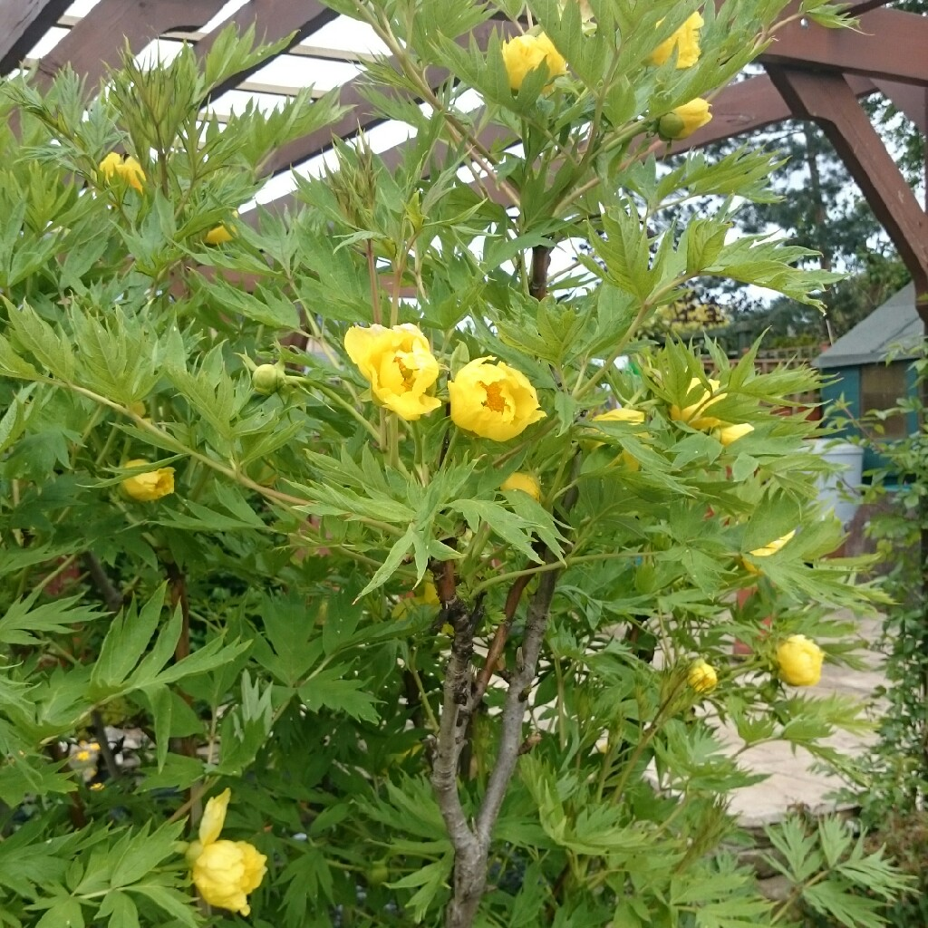 Paeonia Lutea Tree Peony Uploaded By Andreamarie