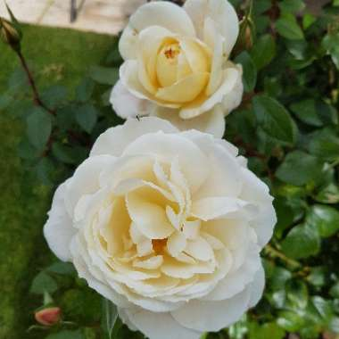 Rose 'Champagne Moments'