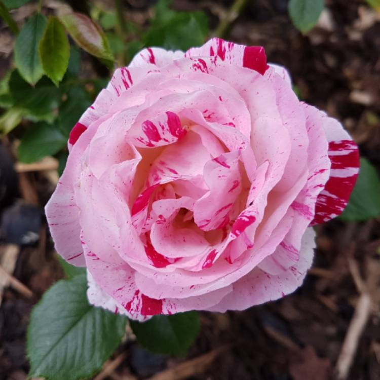 Plant image Rosa 'Scentimental'