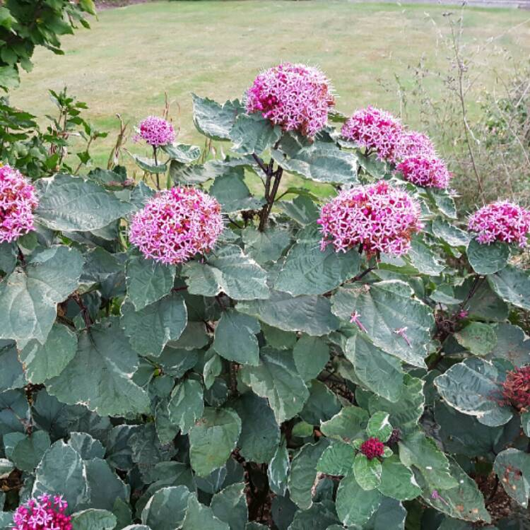 Plant image Clerodendrum bungei 'Pink Diamond'