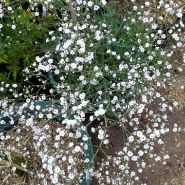 Annual Baby's Breath