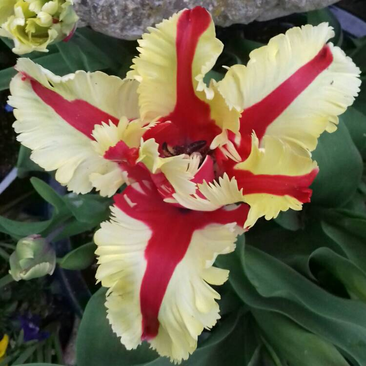 Plant image Tulipa 'Flaming Parrot'
