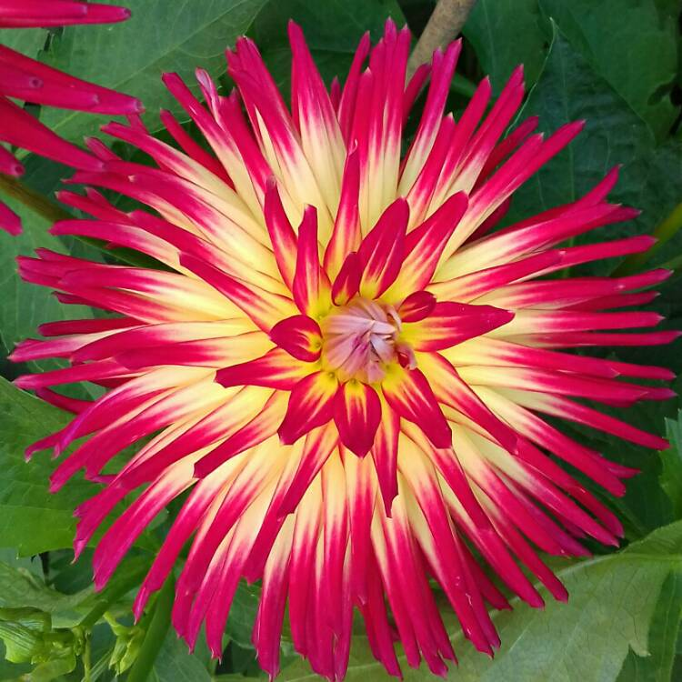 Plant image Dahlia 'Weston Spanish Dancer'