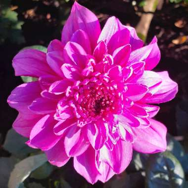 Dahlia (Border Varieties)