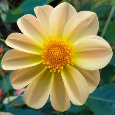 Dahlia (Bedding Varieties)