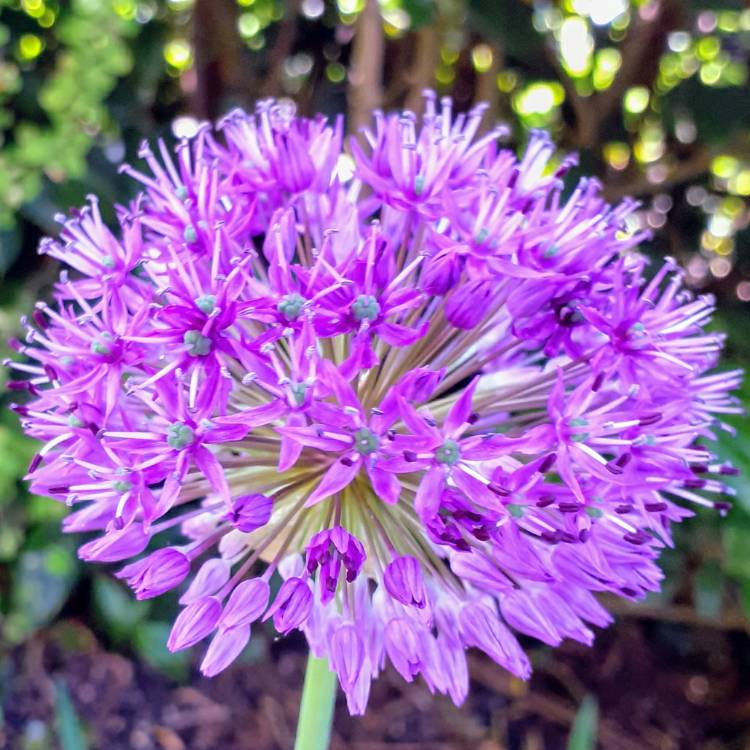 Plant image Allium hollandicum 'Purple Sensation' syn. Allium 'Purple Sensation', Allium aflatunense 'Purple Sensation'