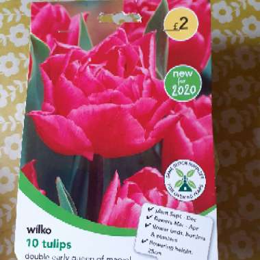 Tulip (Double Early Group)
