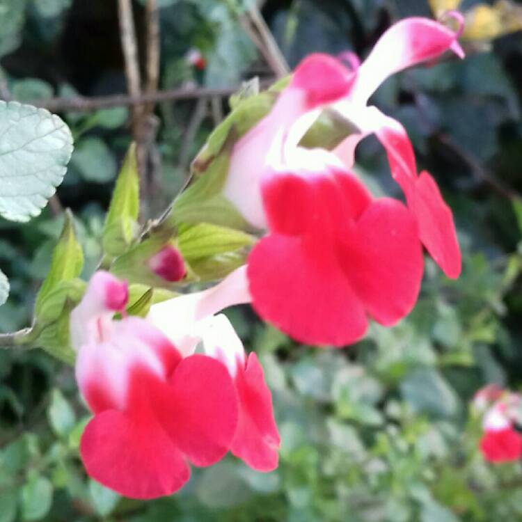 Plant image Salvia microphylla 'Hot Lips'