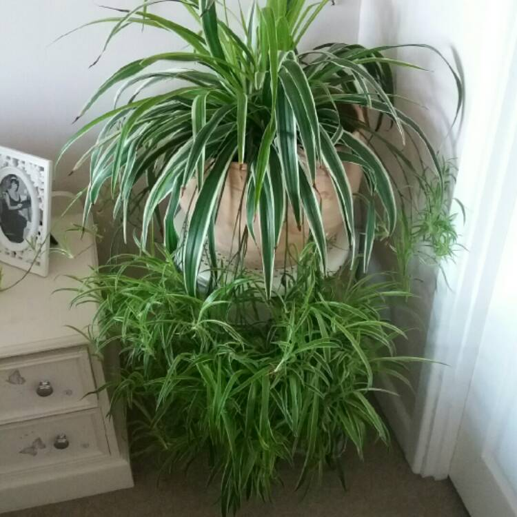 Chlorophytum laxum 39 pacific 39 pacific spider plant for Spider plant cats