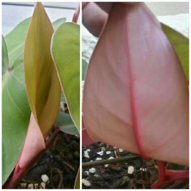 Philodendron erubescens 'Blushing'