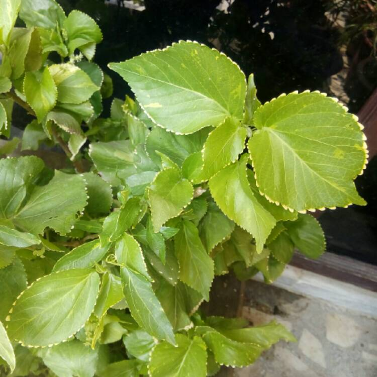 Acalypha Wilkesiana Copperleaf Uploaded By At Ankur1406