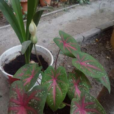 Caladium hortulanum 'Pink Cloud'