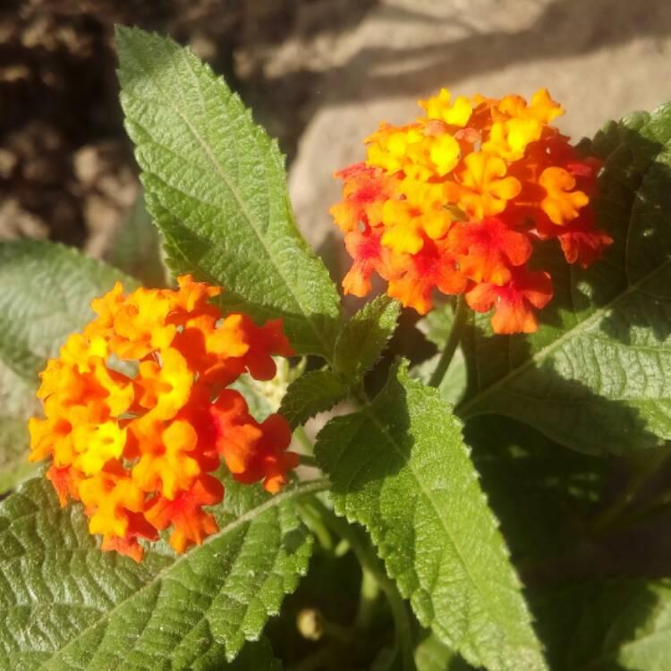 Lantana Camara Miss Huff Big Sage Uploaded By At Ankur1406