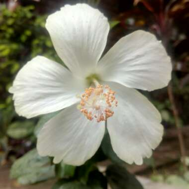 Hibiscus rosa-sinensis 'Dainty White'