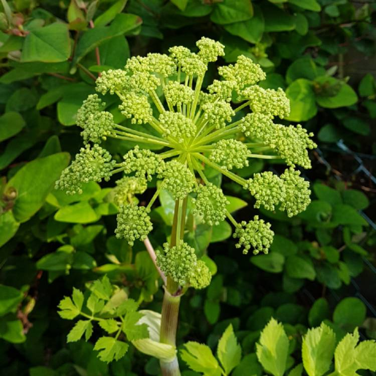 Plant image Angelica archangelica; syn Angelica officinalis