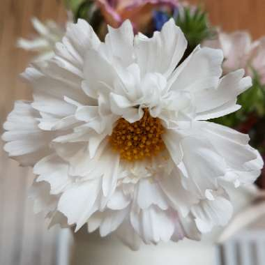 Cosmos bipinnatus 'Double Click Snow Puff' (Double Click Series)