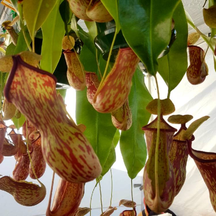 Plant image Nepenthes