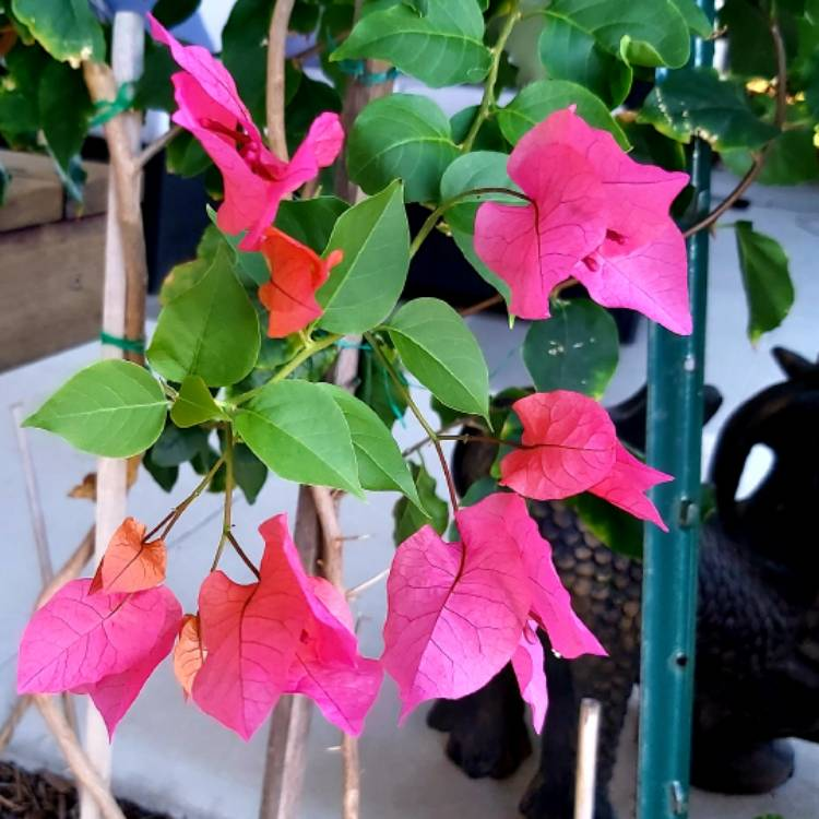 Plant image Bougainvillea Red Dragon™ 'Summer'