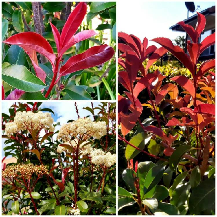 Plant image Photinia x fraseri 'Red Robin'