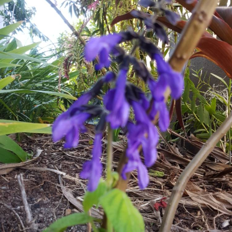 Plant image Salvia Guarantica 'Costa Rica Blue'