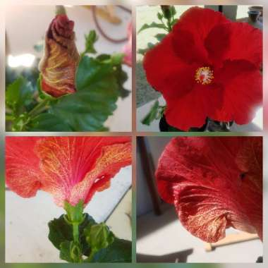Hibiscus Rosa-sinensis 'Ruby Red'