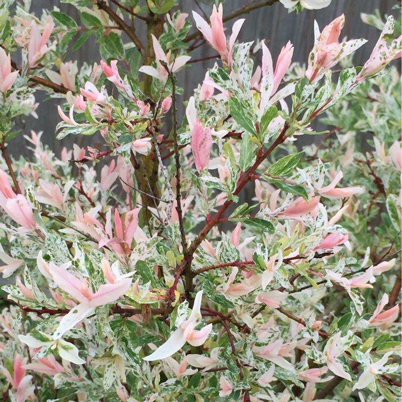 Salix integra 39 hakuro nishiki 39 syn s integra 39 nishiki flamingo 39 salix flamingo uploaded by - Salix hakuro nishiki taille ...