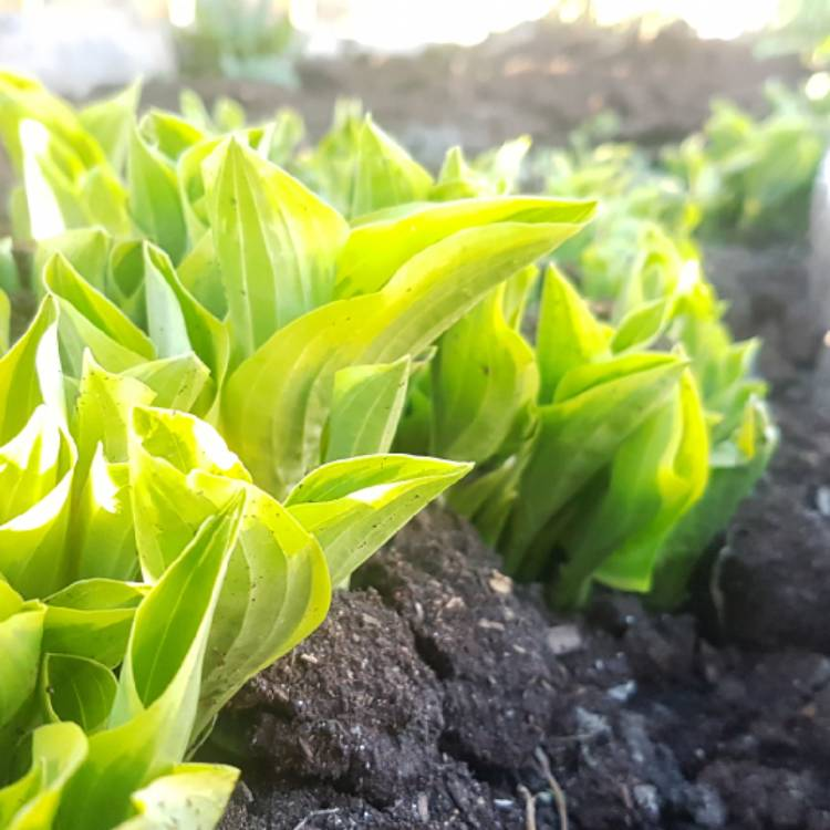 Hosta Twilight Plantain Lily Twilight Uploaded By At Annnugget