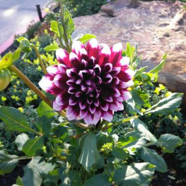 Dahlia 'Table Dancer' (Fimbriated)