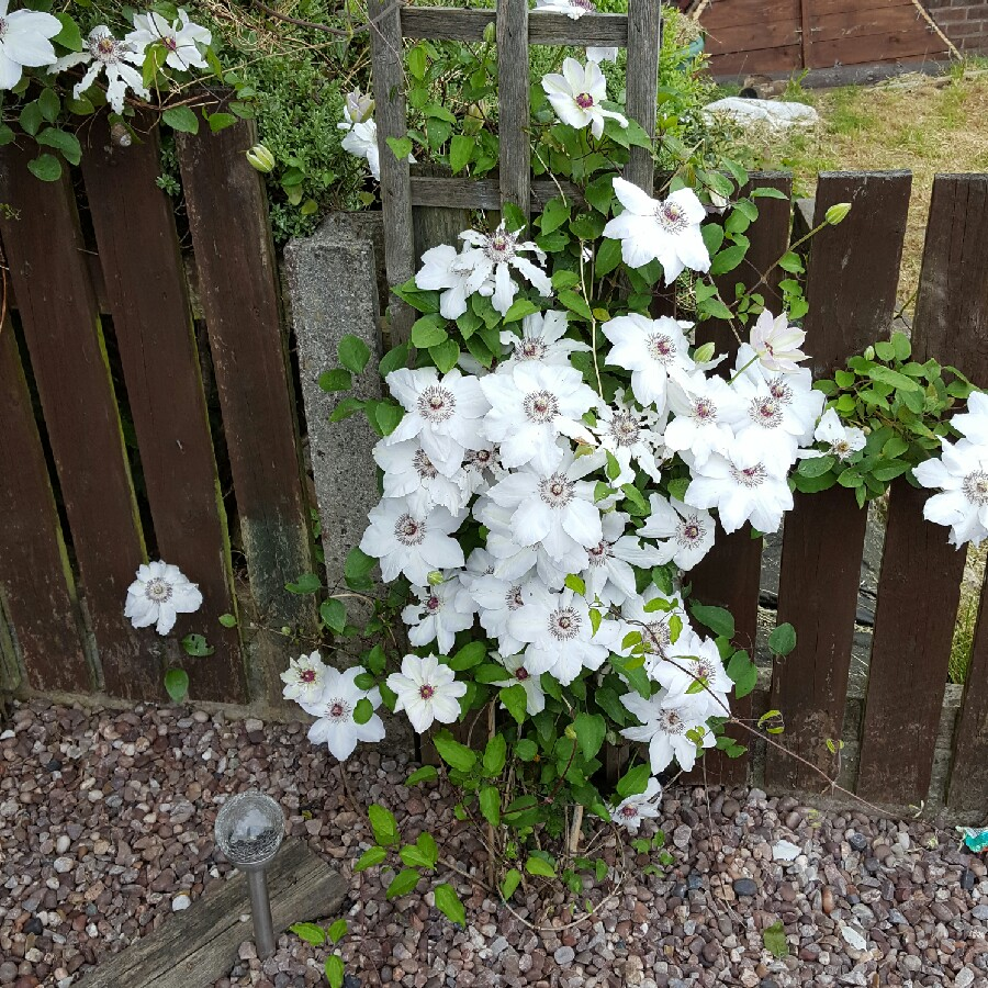 Clematis Group 2 large flowering varieties