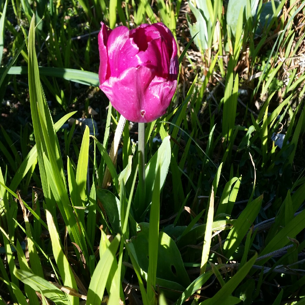 Tulip 'Purple Prince' (Single Late)