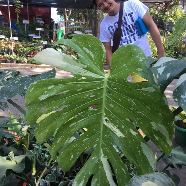 Plant image Monstera deliciosa 'Thai Constellation'