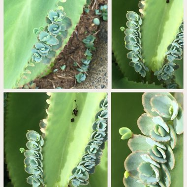Mother of Thousands