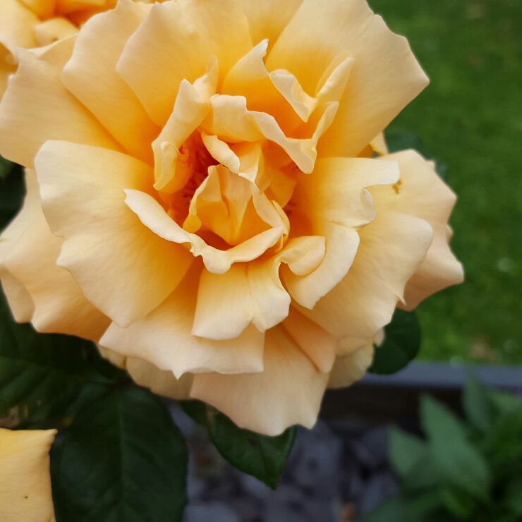 Plant image Rosa 'Simply the Best'