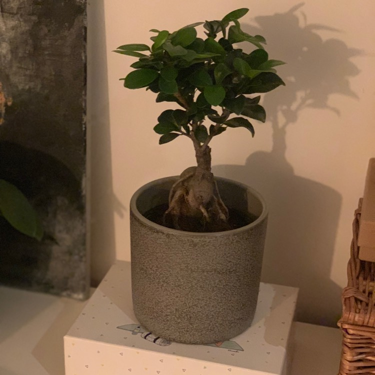 Plant image Ficus microcarpa 'Ginseng'